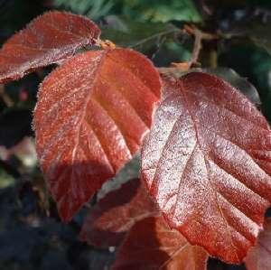 Rode beukenboom snoeien