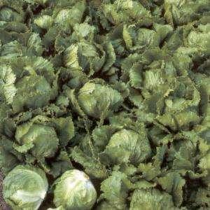 Groenten in de tuin: IJssla is een wat verwaarloosde bladgroente, rijk aan vitamine A en C(1864153551)