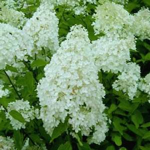 hydrangea paniculata grandiflora pluimhortensia tk. Black Bedroom Furniture Sets. Home Design Ideas