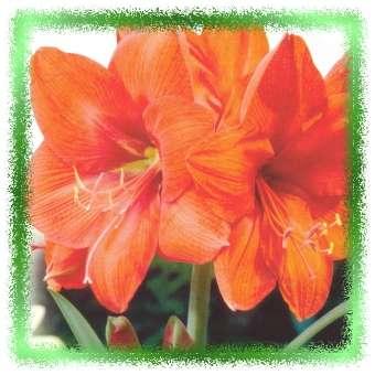 Amaryllis bloeitijd