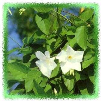 mandevilla laxa chinese jasmijn mandevilla suaveolens tk plantengids plantengroep kuip en. Black Bedroom Furniture Sets. Home Design Ideas