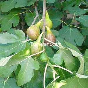 Ficus carica snoeien