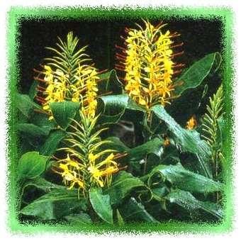 Foto van Hedychium gardnerianum, Nederlands: hedychium, siergember, (Synoniem  ) behorende tot de plantengroep Kuip- en terrasplanten