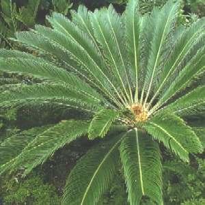 Cycas revoluta nieuwe bladeren