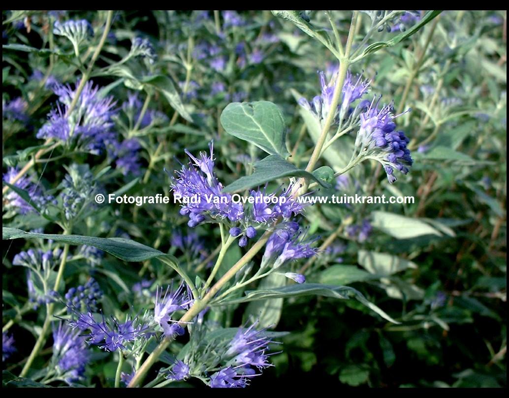 plants c caryopteris page 7. Black Bedroom Furniture Sets. Home Design Ideas