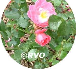 Tk Plantengids Roos Rozen Voor De Tuin