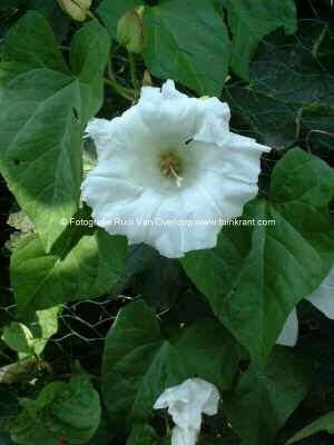 Roosachtige plant