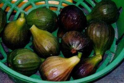 Aparte groenten voor de tuin armeense komkommer kiwano tomatilla vijgen tonggwa en tuinbananen - Riet voor struik ...