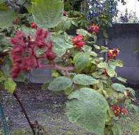 Fruit in de tuin: Rubus phoenicolasius of Japanse wijnbes is een ideale leiplant(475656712)