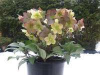 Helleborus in de tuin: nieuwe winter magic collection(520856538)
