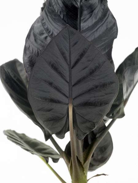 Nieuwe kamerplant: Alocasia infernlis ´Black Magic´(148245997)