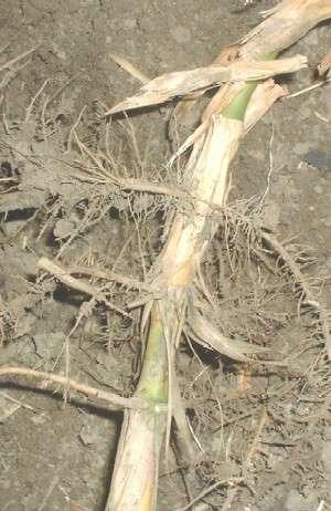 Snoeien van Bamboe(780918914)
