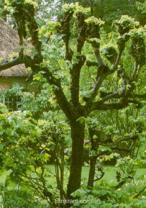 Bomen kandelaberen(1532115065)