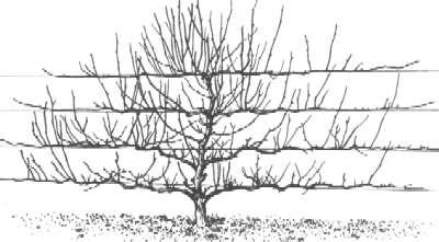 hoe snoei je een appelboom