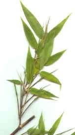 Snoeien van Bamboe(784354275)