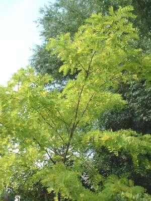 . Zowel de boom als de takken zijn windgevoelig. Vraagt een steunpaal ...: www.tuinkrant.com/snoeigids/snoei_robinia.htm