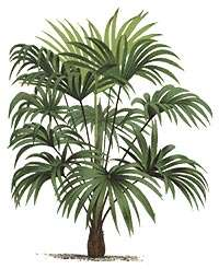Snoeien trachycarpus for Cactus exterieur resistant au froid