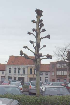 Bomen snoeien plataan