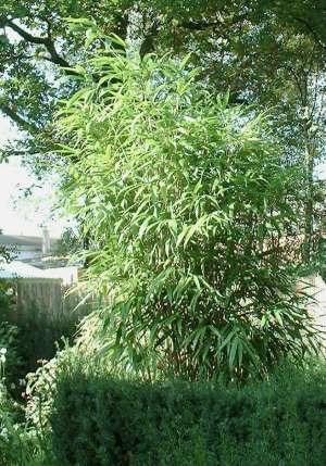 Snoeien van Bamboe(1110098451)