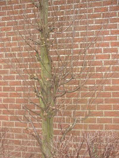 Snoeien van Bomen(517395019)